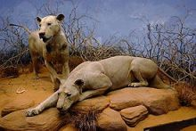 "The Tsavo Man-Eaters (""The Ghost"" and ""The Darkness"") on display at the Field Museum of Natural History, Chicago, IL"